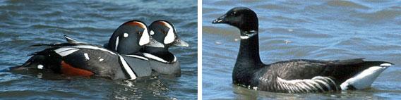 Harlequin Ducks and Black Brant