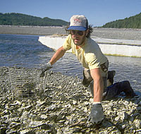 Gathering Quilcene Oysters