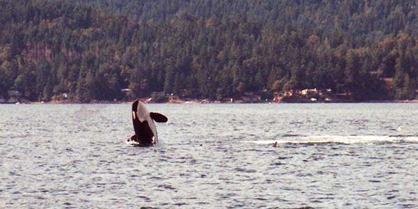 Orca whale jumping out of the water with another below the surface.